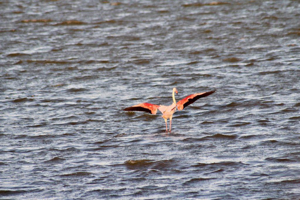 flament rose ailes déployés