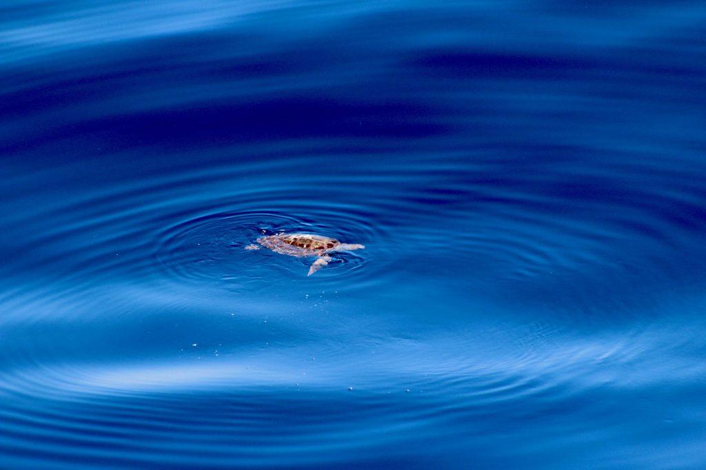 tortue en méditerranée